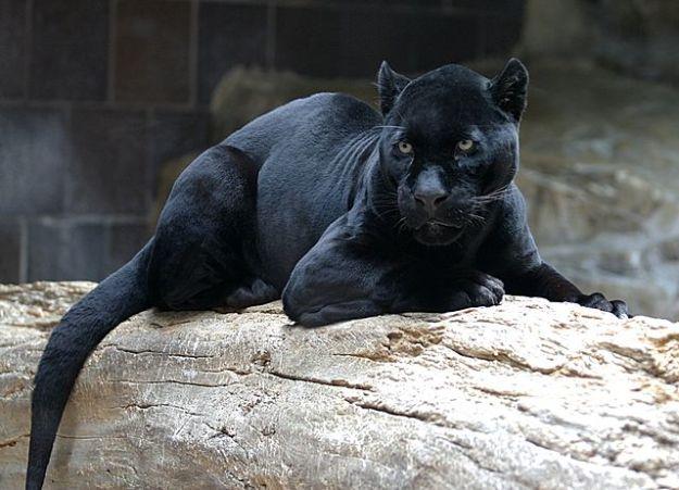 640px-Jaguar